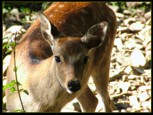 deer-closeup1