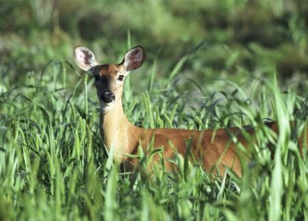 deer-straight-on1