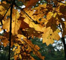 leaves-yel